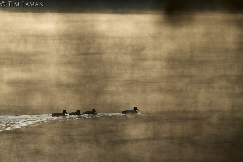 Mallards on the misty Walden Pond.