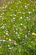 Alpine flower meadow in the Swiss National Park, the Swiss Alps, Switzerland