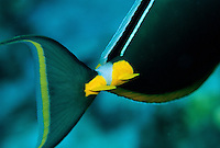 Sharp blades at the base of the tail of a surgeonfish are powerful defensive weapons, and they are advertised by their bright yellow color.