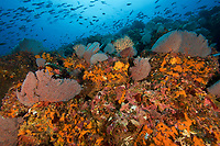 Seamount covered in diverse sea fans, soft corals, sponges and other invertebrate life.  With schools of snappers above.<br /><br />Contreras Islands<br />Coiba National Park<br />Panama<br /><br />Roller Coaster dive site