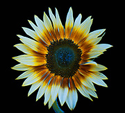 A Sunflower seen in simulated insect vision. In this image the UV reflectivity from the flower has been added to a normal human vision image to create one interpretation of what an insect might see. The image shows the different patterns on the flower petals as perceived by insects that can see well into the ultraviolet region of the spectrum. These special patterns that have evolved to attract insects to the flower are called honey guides. This image is part of a series showing the same flower in ultraviolet (UV) radiation, visible light, insect vision, and simulated bee vision.