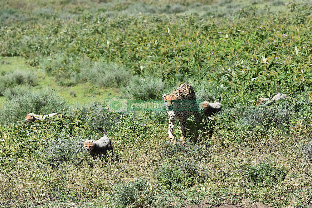 A female Cheetah is seen with her cubs in Ndutu area of Southern Serengeti National Park in Arusha Region, Tanzania, on August 25, 2019. Photo by Emy/ABACAPRESS.COM