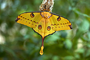 Giant Comet Moth, Argema mittrei, Madagascar, Moon or Lunar, Family: Saturniidae, one of the largest Silk Moths, hanging on cocoon