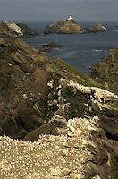 Gannet (Morus bassanus) Colony, Hermaness, Shetland Isles, Scotland.