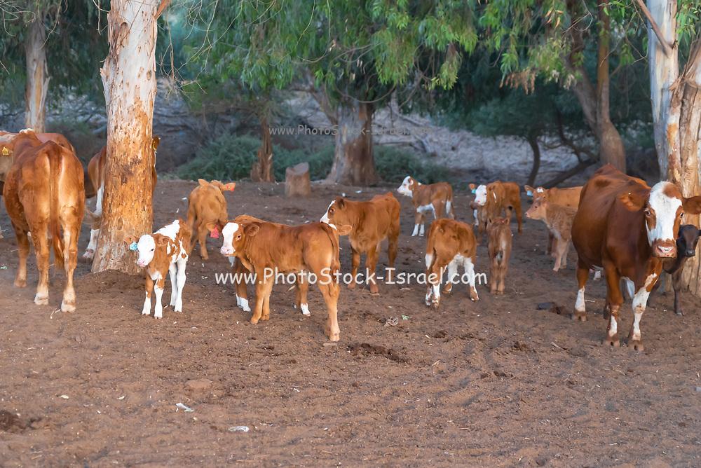 Free roaming cattle grazing in the fields