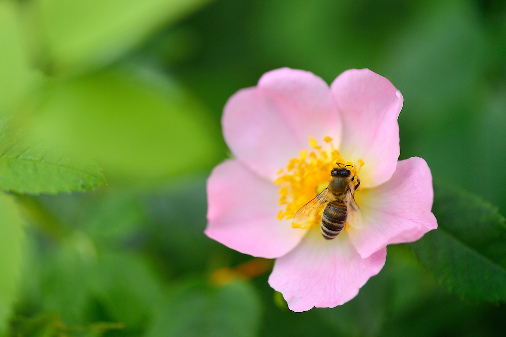 Honey bee in wild rose, Rosa sp. in the Tarcu mountains nature reserve, Natura 2000 area, Southern Carpathians, Romania. The release was actioned by Rewilding Europe and WWF Romania in May 2014.