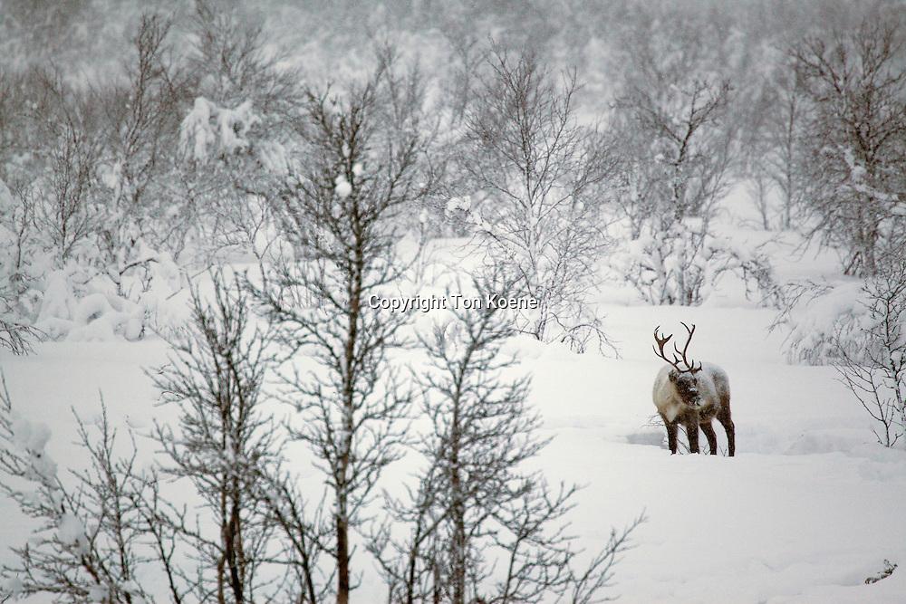 reindeers in Northern Finland