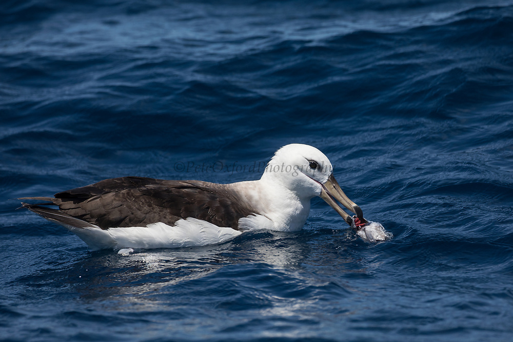 Black-browed Albatross (Thalassarche melanophrys)<br /> South of South Africa<br /> Western Cape<br /> South Africa<br /> Juvenile<br /> 60 miles south of Gansbaai