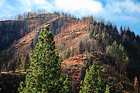 a burned forest stands bare in the Umatilla National Forest, Blue Mountains, WA, USA