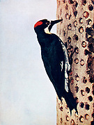 The acorn woodpecker or California woodpecker (Melanerpes formicivorus) is a medium-sized woodpecker, 21 cm (8.3 in) long, with an average weight of 85 g (3.0 oz). Acorn woodpeckers are larder hoarders. Breeding groups create a food store by drilling holes in a dead tree, and stuffing acorns into them. The group defends the tree against potential robbers. As well as acorns, they also eat insects, fruit, seeds and sometimes tree sap. From Birds : illustrated by color photography : a monthly serial. Knowledge of Bird-life Vol 1 No 4 April 1897
