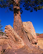Tree growing through rocks.  Medicine Bow, Wyoming area.