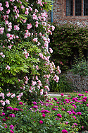 Rosa 'Albertine'  a pink climber growing on a wall and Rosa 'de Rescht' a deep pink shrub rose in the garden at Hindringham Hall, Hindringham, Norfolk