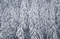 Snow covered trees, Mount Baker-Snoqulamie National Forest