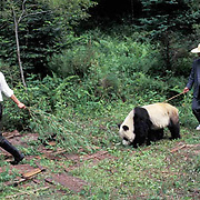Giant Panda, (Ailuropoda melanoleuca) Guides working with panda at Wolong Reserve. Sichuan, China.  Captive Animal.