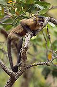 Brown Capuchin Monkey<br />Cebus apella<br />Cerrado Habitat, Piaui State.  BRAZIL.  South America
