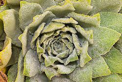 `Ena`ena, Gnaphalium sandwicensium var. kilaueanum, endemic to Hawaii, off Sandle Road, Mauna Kea, Big Island, Hawaii