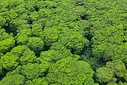 Aerial view of invasive albizia trees (Falcataria moluccana) on Kauai, Hawaii.