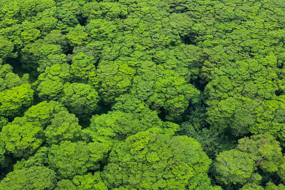 Aerial view of invasive albizia trees (Falcataria moluccana) on Kauai, Hawaii.