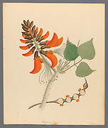 Erythrina Caffras (1817) Coast coral tree or African coral tree, from a collection of ' Drawings of plants collected at Cape Town ' by Clemenz Heinrich, Wehdemann, 1762-1835 Collected and drawn in the Cape Colony, South Africa