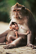 Monkey mother with nursing infant. Ubud, Bali, Indonesia.