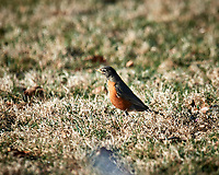 American Robin. Image taken with a Nikon D5 camera and 600 mm f/4 VRII lens