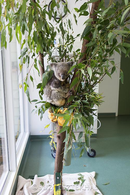 Koala <br /> Phascolarctos cinereus<br /> Male koala sick with retrovirus in exam room<br /> Currumbin Wildlife Hospital, Queensland, Australia<br /> *Captive
