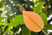 Leaf in teh rainforest at  Ulu Temburong National Park, Brunei