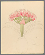 Brunswigia [Brunsvigia grandiflora] (1817) from a collection of ' Drawings of plants collected at Cape Town ' by Clemenz Heinrich, Wehdemann, 1762-1835 Collected and drawn in the Cape Colony, South Africa