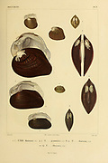Unio (bivalve) freshwater mussels Mollusks from the book 'Voyage dans l'Amérique Méridionale' [Journey to South America: (Brazil, the eastern republic of Uruguay, the Argentine Republic, Patagonia, the republic of Chile, the republic of Bolivia, the republic of Peru), executed during the years 1826 - 1833] Volume 5 Part 3 By: Orbigny, Alcide Dessalines d', d'Orbigny, 1802-1857; Montagne, Jean François Camille, 1784-1866; Martius, Karl Friedrich Philipp von, 1794-1868 Published Paris :Chez Pitois-Levrault. Publishes in Paris in 1843