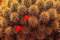 Claret Cup cactus, Paria Canyon Vermillion Cliffs Wilderness, Utah USA