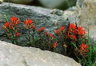 Indian Paintbrush wildflowers growing in the Lyell Creek meadow in Yosemite National park.