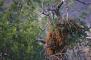 Dangers of Mutualism or Waiting for Phainopeplas   Bobcat hides in a particularly attractive mistletoe bush high in an ironwood canopy, waiting for delivery of fresh phainopeplas -- a mistletoe mutualist in Sonoran desert.