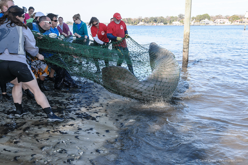 Manatee Health Assessments, Kings Bay, Crystal River, Citrus County, Florida USA. November 29, 2012 am. Researchers from several federal and state agencies work together to gather data during the manatee capture and health assessments. A netted manatee arches as it is pulled on shore as it splashes after being netted for data and sample acquisition. The assigned handlers are familiar with safety procedures for both the manatee and handlers. The animal is only kept out of the water for a safe, pre-determined timespan.