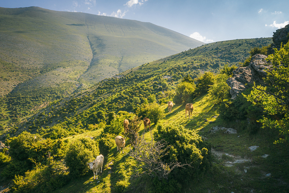 Cows Grazing at Mount Olympus, Greece
