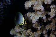 Chaetodon baronessa (Baroness Butterflyfish)