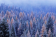 Western Larch and evergreen forest after snowfall at dusk in fall. Yaak Valley, Montana