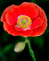 Red or Oriental Poppy flower. Image taken with a Fuji X-T3 camera and 80 mm f/2.8 OIS macro lens