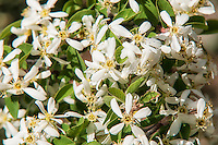The Utah serviceberry is a tightly-branched shrub found in scattered locations across the American Southwest and is a very important food source for birds, deer, elk and bighorn sheep. Traditionally Native Americans used the often very straight and long stems to make arrow shafts.