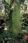 Liverworts on tree trunk, New Zealand, Marchantiophyta
