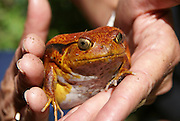 Madagascar, Tomato Frog or Crapaud Rouge De Madagascar (Dyscophus antongilii)