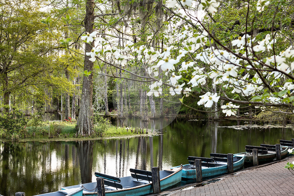 Dogwoods blooming along the blackwater bald cypress and tupelo swamp during spring at Cypress Garden April 9, 2014 in Moncks Corner, South Carolina.