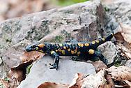 Fire Salamander (Salamandra salamandra) near Planica, Alpe Adria Trail, Julian Alps, Slovenia. © Rudolf Abraham