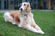 This is Jaz, a beautiful 10-year-old Borzoi/Afghan Hound cross.