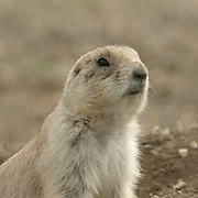 Black-Tailed Prairie Dog (Cynomys ludovicians) poking its head out of a hole. Summer in Charles M. Russell National Wildlife Refuge, Montana
