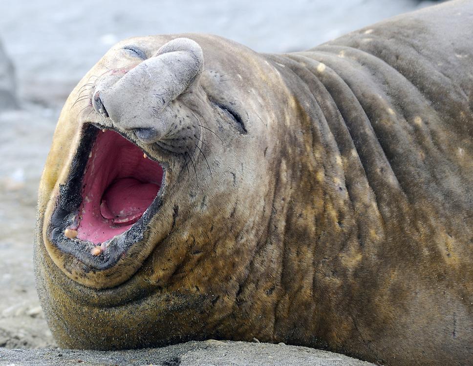 An adult male Southern Elephant Seals (Mirounga leonina) yawns while sleeping on the beach. Shingle Cove, Coronation Island, South Orkney Islands, Antarctica. 28Feb16