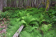 Ferns and Horsetails beneath the forest at Burgoyne Bay. Species include Sword Fern (Polystichum munitum), Lady Fern (Athyrium filix-femina), and Common Horsetail (Equisetum arvense). Photographed from Daffodil Point Trail in Burgoyne Bay Provincial Park on Salt Spring Island, British Columbia, Canada