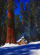 Giant Sequoias and the Grove Museum (Galen Clark's Cabin), Upper Mariposa Grove, Yosemite National Park, California.