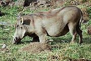 Warthog (Phacochoerus africanus) Photographed in Ethiopia .