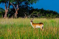 Red lechwe (antelope), Kwara Camp, Okavango Delta, Botswana.
