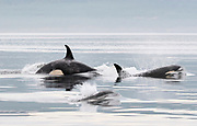 Baby Orcas (Orcinus orca) pass with the pod in the quiet morning light.  BC, Canada